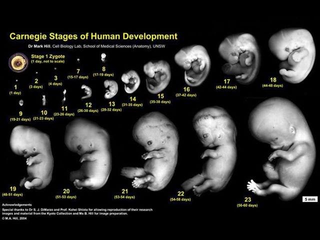 عکس جنین 7 هفته