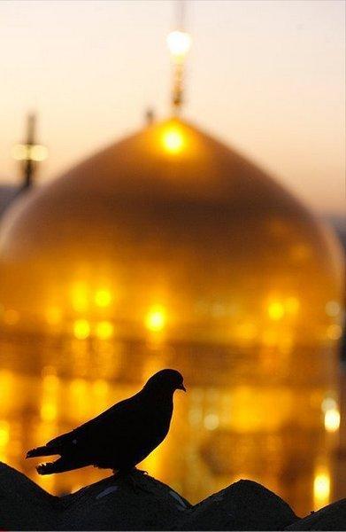 کبوتر و امام رضا