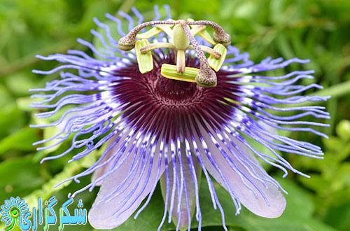 گل-ساعتی-عکس گل ساعتی-خاصیت-دارویی-گل-ساعتی-تصویر-شکرگزاری-کنترل-استرس
