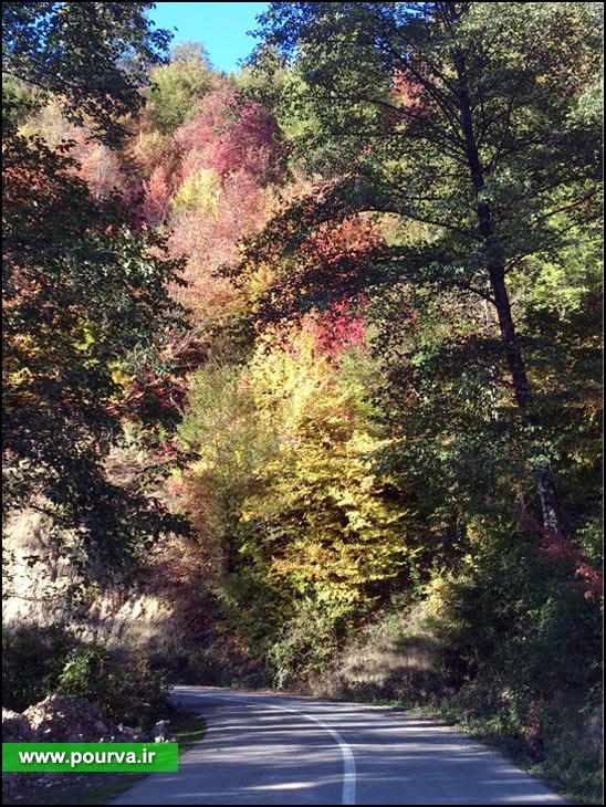 درخت انجیلی - پوروا - هزارجریب - نکا - مازندران - کمیل مقدسی