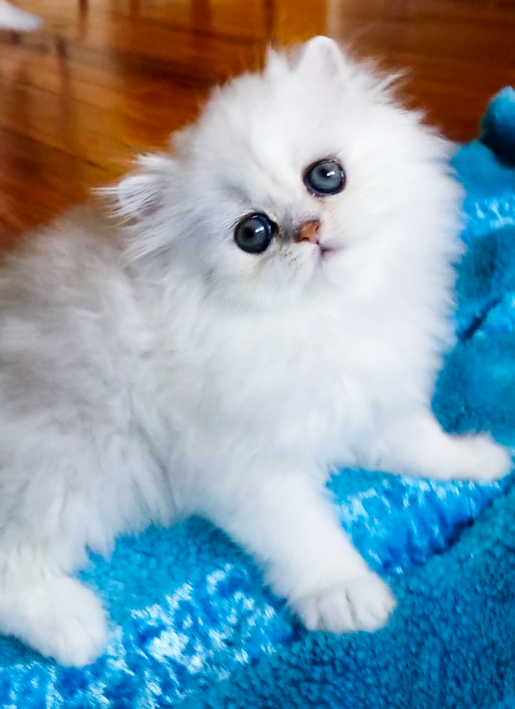 http://s5.picofile.com/file/8150635576/purepersiancat_12_.jpg