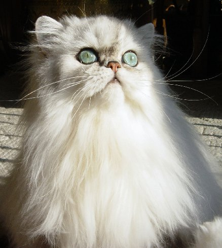 http://s5.picofile.com/file/8150635676/purepersiancat_13_.jpg