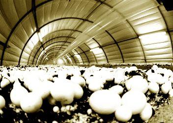 نکات طلایی در پرورش دادن قارچ خانگی