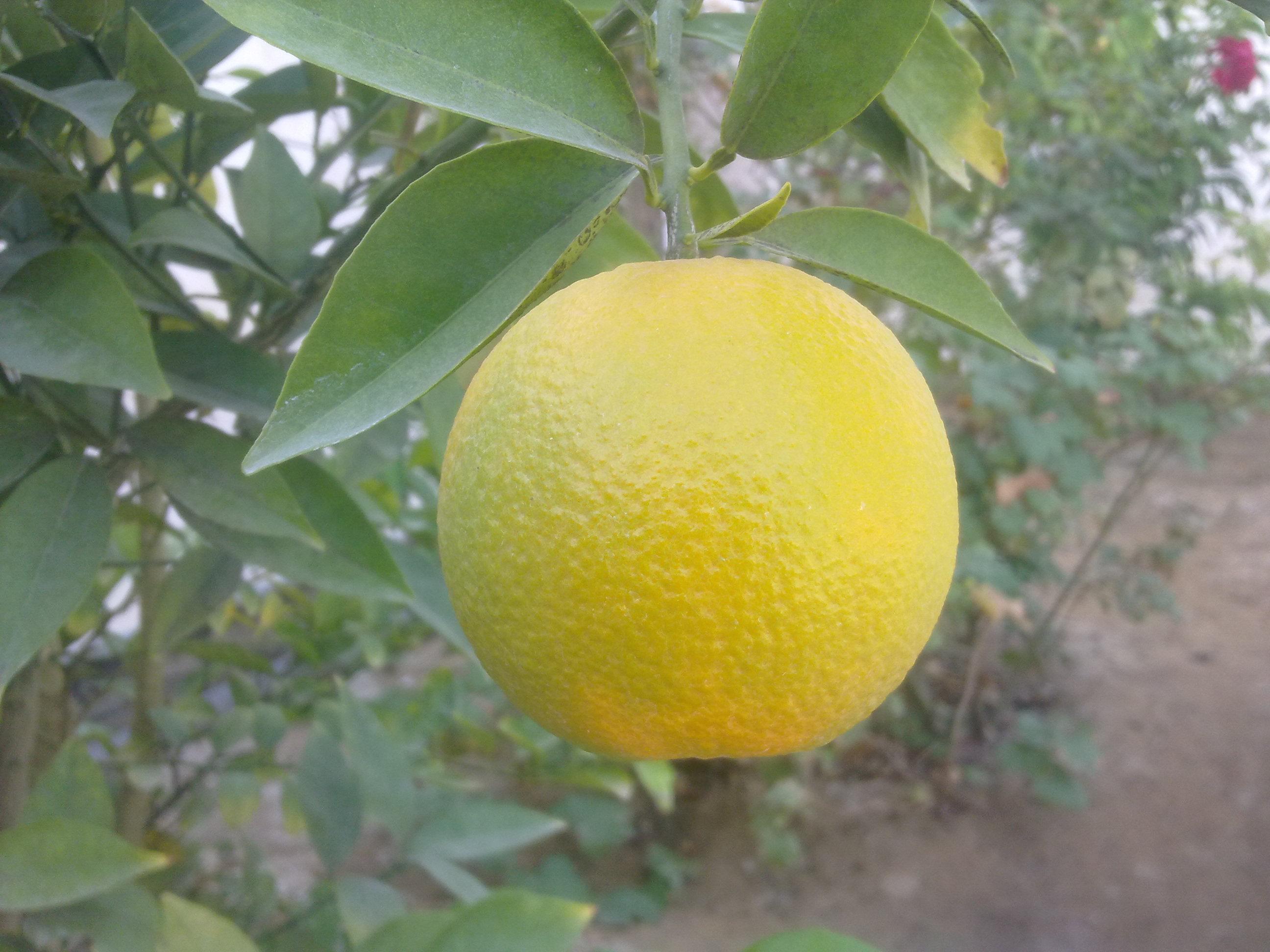 پرتقال خونمون