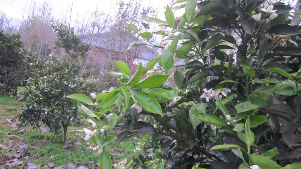 ماسال نیوز شکوفه زدن درختان پرتقال در ماسال