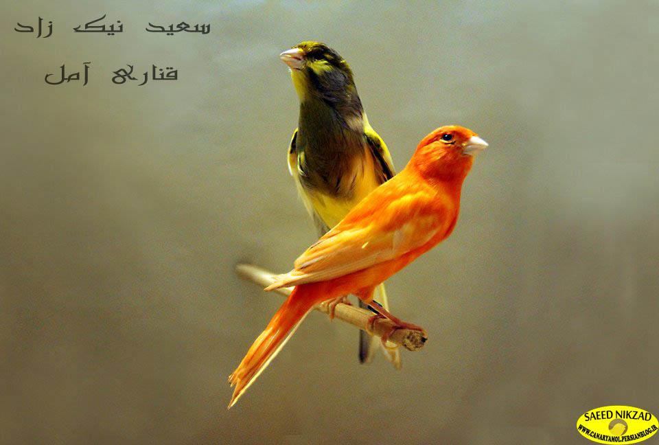 قناریهای سعید نیک زاد - saeed nikzad canary