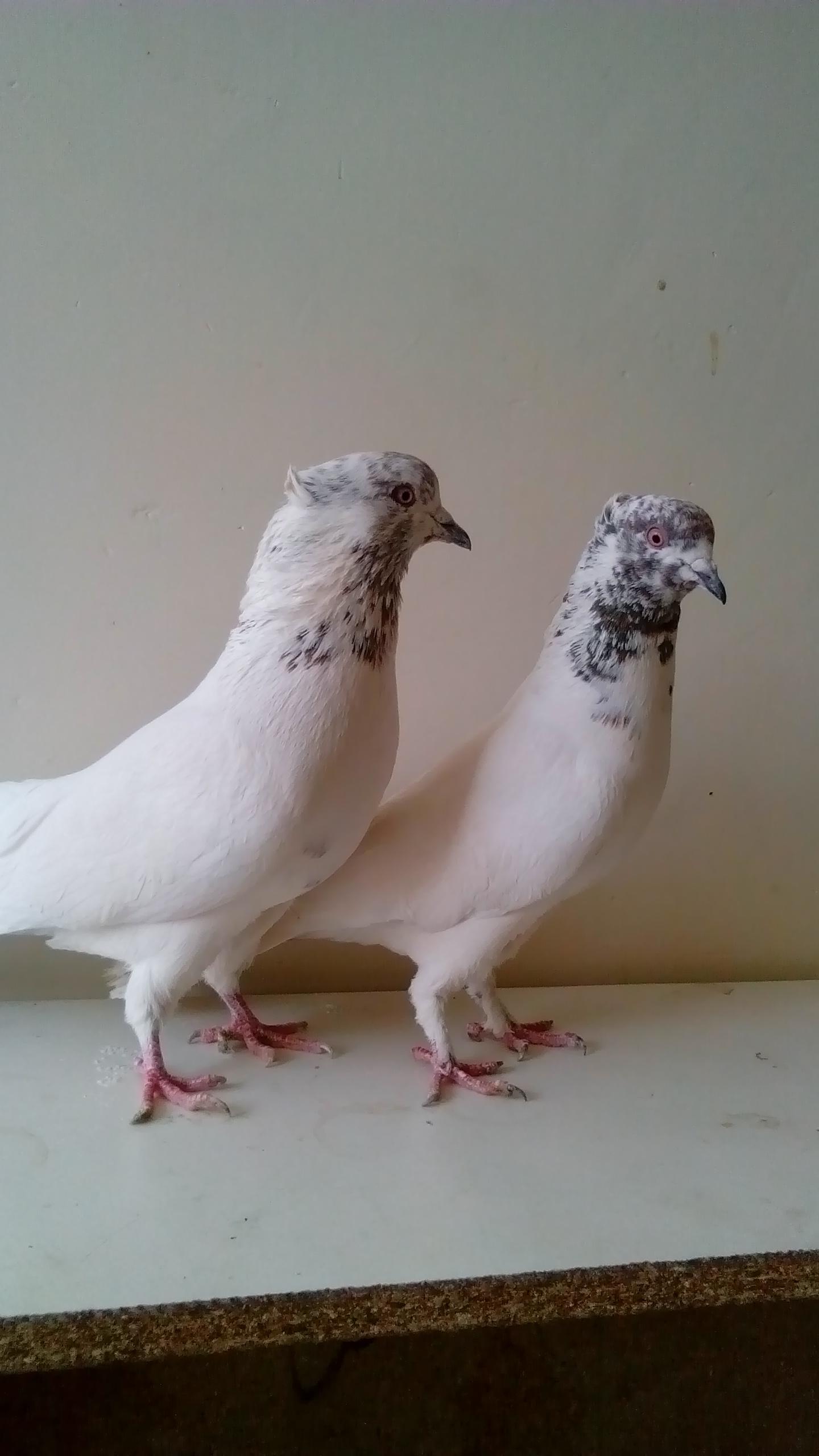 کبوتر سبز کبوتر پلاکی اصل | کبوتر پلاکی اصل | گالری عکس ویژه ترین ...
