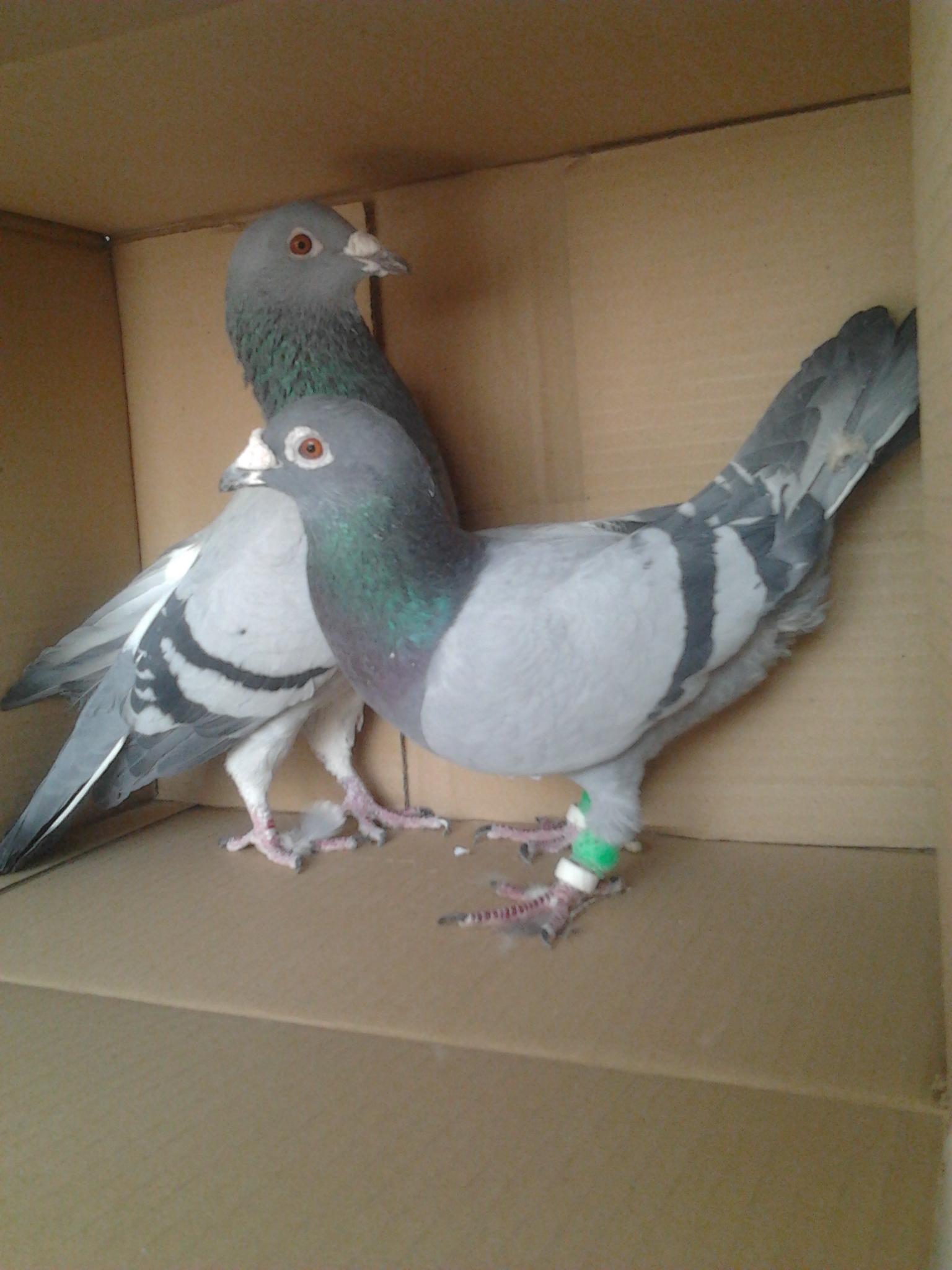 گروه تلگرامی کبوتر های مسافتی لیست قیمت کبوتر | لیست قیمت کبوتر | گالری عکس ویژه ترین ...
