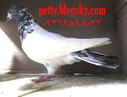 کانال تلگرام فروش پرندگان