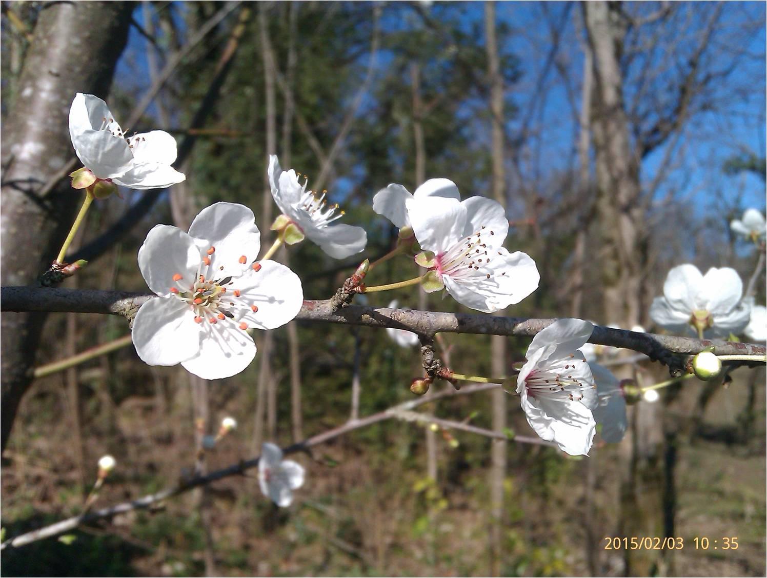 شکوفه بد موقعه درخت گوجه سبز در شمال کشور