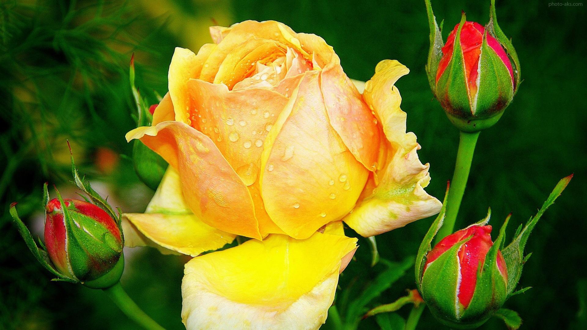 گل رز زرد زیبا، گل ها - عکس گل رز