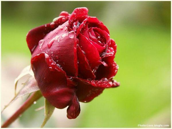 عکس گل رز زیبا خوشگل ترین گل رز شاخه گل زیبای رز