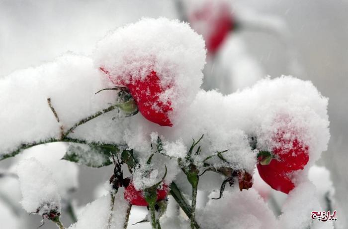 گل در برف و یخ