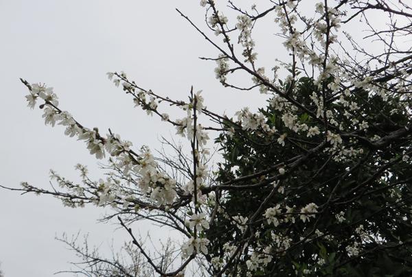 شکوفه های بهاری کشتله