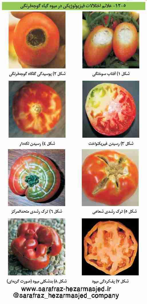تصاویره عارضه های فیزیولوژیکی در گوجه فرنگی