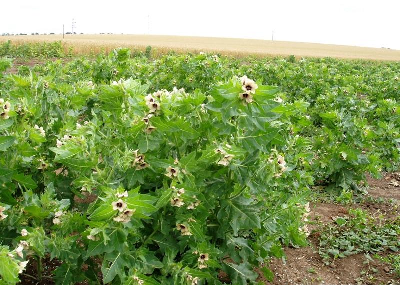 پرورش گیاه بنگ دانه در مزرعه