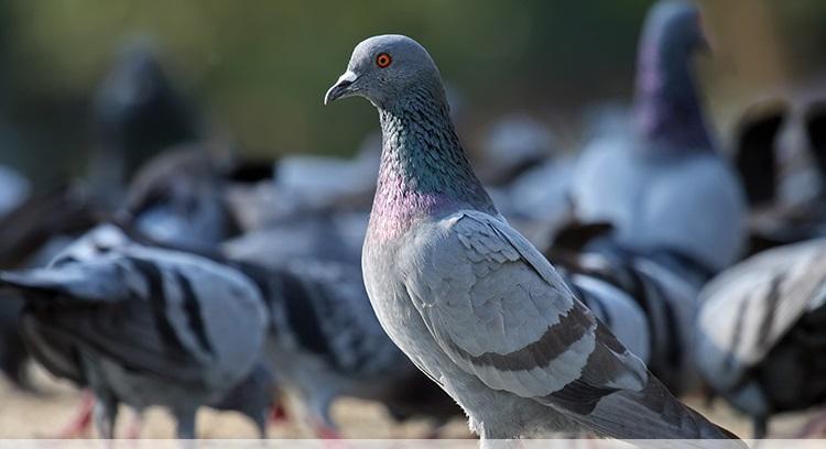 http://s5.picofile.com/file/8285792634/Rock_Pigeon_Columba_livia.jpg