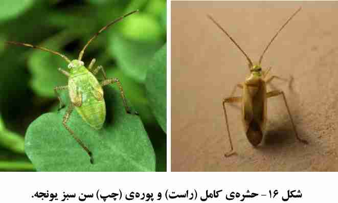 سن سبز یونجه Adelphocoris lineolatus