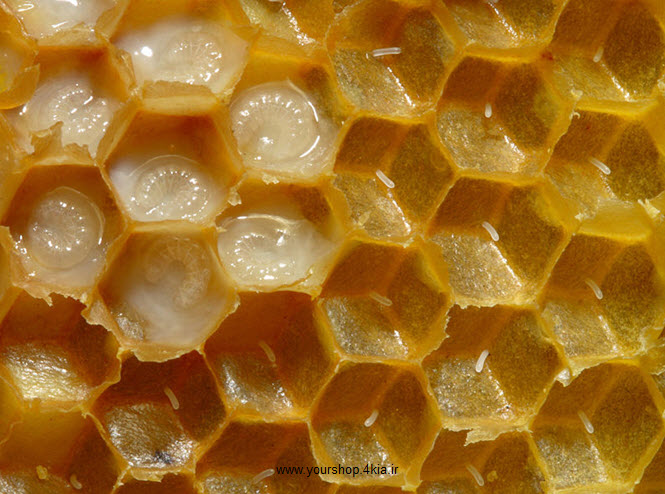 دانلود جزوه آناتومی زنبور عسل ، بیولوژی زنبور عسل ، تشریح زنبور عسل در قالب پاورپوینت ppt
