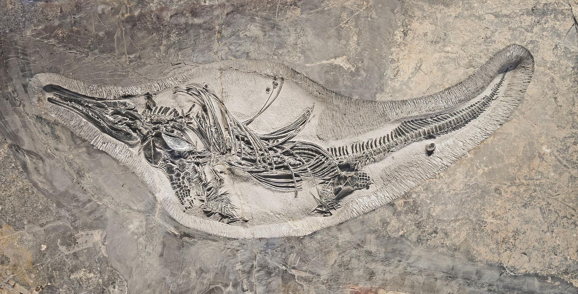 فسیل یا سنگواره ماهیخزنده باراکوداسائورویدس که در دوره تریاس میانه زندگی میکردهاست.