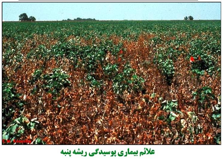 علایم بیماری پوسیدگی ریشه پنبه در مزرعه پنبه