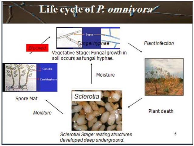 زیست شناسی بیماری Phymatotrichum omnivorum Duggar [anamorph]