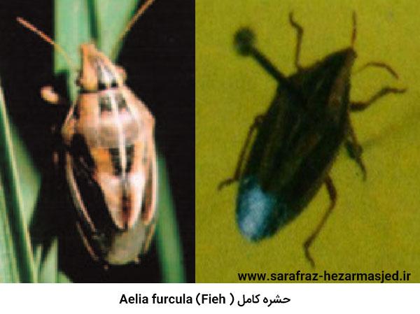 سن آئليا Aelia furcula (Fieh.)