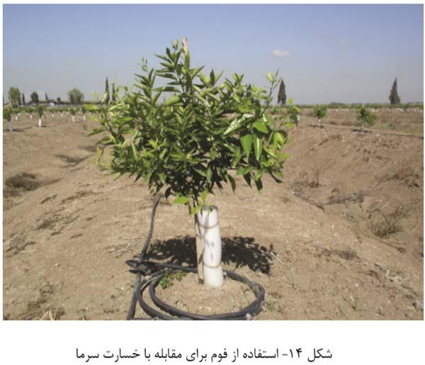 کاربرد فوم دور تنه درختان مرکبات جهت جلوگیری از سرمازدگی