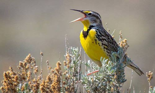 جمعیت پرندگان در آمریکای شمالی کاهش پیدا کرده است